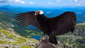 Vultur gryphus in wildness area — Stock Photo