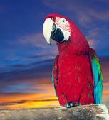 Macaw papagay against dawn — Stock Photo