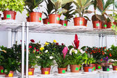 Shelves with flowers in pots — Stock Photo