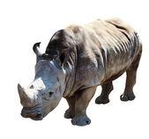 White rhinoceros. Isolated over white background — Stock Photo