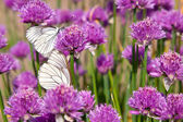 Allium plant with Butterflies — Stock Photo