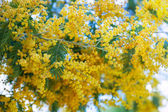 Blossoming Acacia — Stock Photo