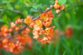 Quince tree branch with flowers — Stock Photo