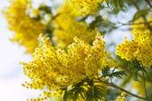 Acacia dealbata in spring — Stock Photo