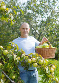 Man in apple orchard — Stock Photo