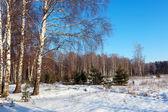 Brzozowy las w zimowe wieczory — Zdjęcie stockowe