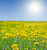 Dandelions meadow — Stock Photo