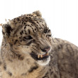 Stock Photo: Snow leopard. Isolated over white