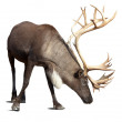 Stock Photo: Male reindeer over white with shade