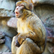 Barbary macaque — Stockfoto #28693943