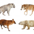 Carnivora mammals. Isolated over white  — Foto Stock