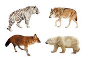 Carnivora mammals. Isolated over white — Stock Photo