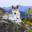 Wolf on stone in wildness area — Stock Photo #30995171