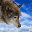 Stock Photo: Head of wolf