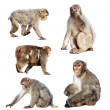 Set of few Japanese macaques — Stock Photo