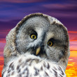 Head of great Gray Owl — Stock Photo