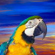 Closeup of  macaw against sunset sky — Stock Photo