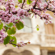 Violet blossoming Cercis siliquastrum plant — Stock Photo