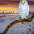 Snowy owl in sunrise tim — Stock Photo #30997197