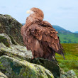 Eagle on rock — Stock Photo #30997221