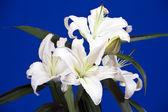 Closeup of white lily — Stock Photo
