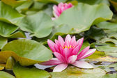 Water lilies growing in quiet waters — Stock Photo