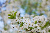 Blooms tree branch — Stock Photo