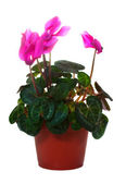 Flowering cyclamen in pot. Isolated on white — Stock Photo