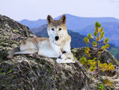 Wolf on stone in wildness area — Stock Photo