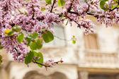 Violet blossoming Cercis siliquastrum plant — Stock Photo