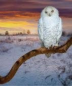 Snowy owl in sunrise tim — Stock Photo