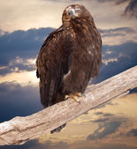 Eagle sits on wood trunk — Stock Photo