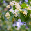 Stock Photo: Linden blossom