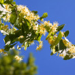 Stock Photo: Blossoming linden branch
