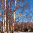 Landscape with birch forest in  winter   — Stock Photo
