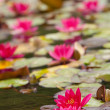 Lilies in  quiet waters — Stock Photo