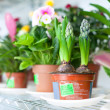 Stock Photo: Hyacinth plant in flower store