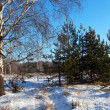 Winter lanscape with birch and pine   — Stock Photo