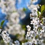 Cherry tree branch in blooms garden — Stock Photo #32309585