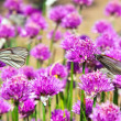 Allium  field with Butterflies — Stock Photo