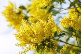 Blossoming spring Acacia — Stock Photo