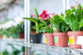 Schlumbergera in flower shop — Stock Photo