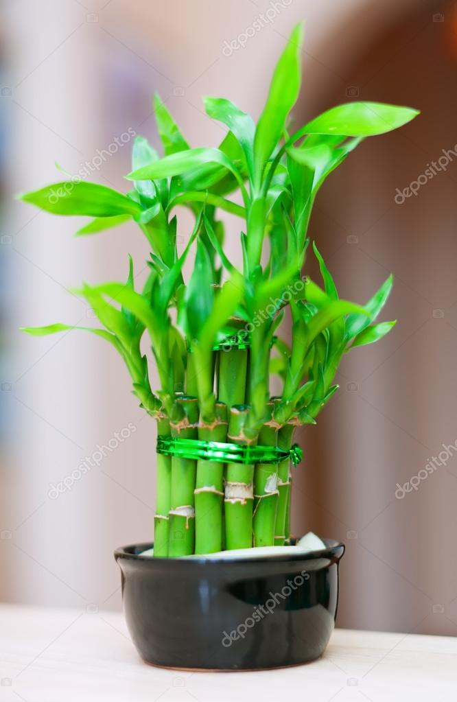 Gelukkige bamboe plant stockfoto jim filim 32309275 for Bamboe plant
