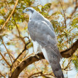 Stock Photo: Goshawk in forest