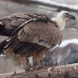 Griffon vulture  against rocky background — Stock Photo