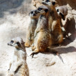 Standing suricates together — Stockfoto