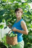 Woman picking cucumber — Stock Photo