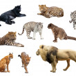 Stock Photo: Big wildcats over white background