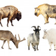 Постер, плакат: Artiodactyla mammal animals
