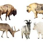 ������, ������: Artiodactyla mammal animals
